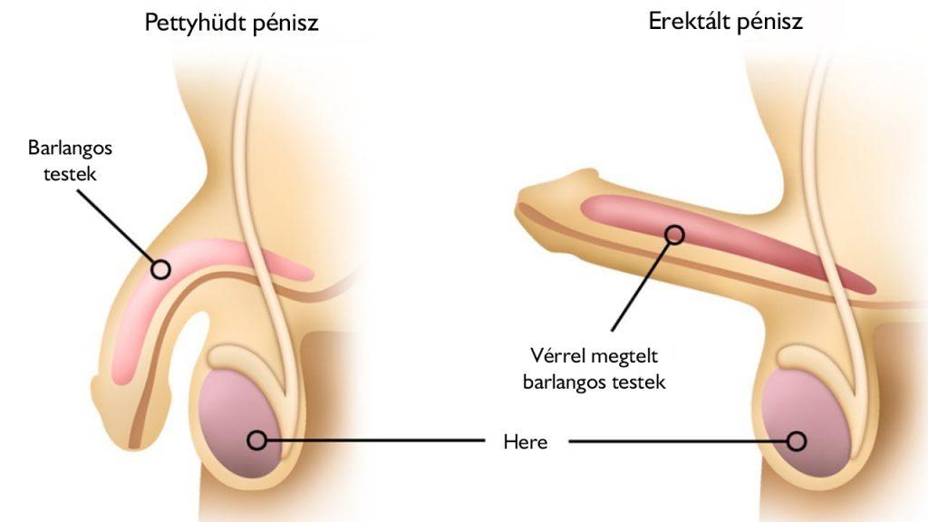 erekciós központok