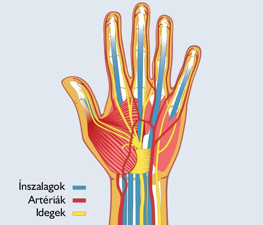 the human hands anatomy with tendons, arteries and nerves