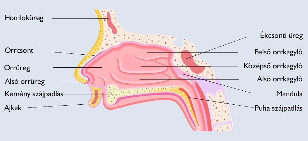 Orr anatómiája
