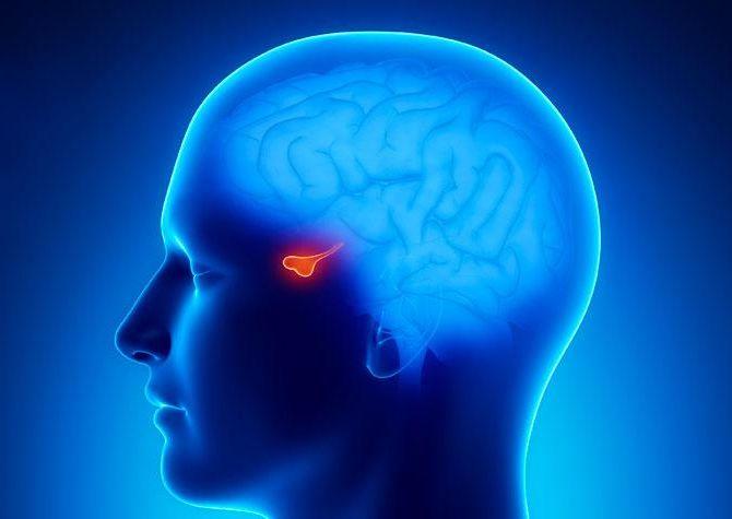 Az agyalapi mirigy (hipofízis) elhelyezkedése